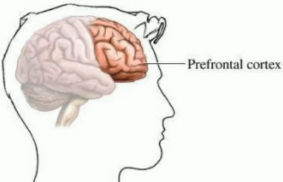 Prefrontal Cortex, the Brain's CEO